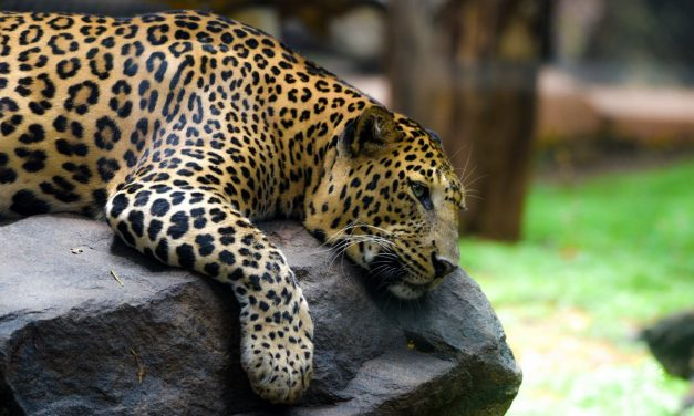 Leopards In India: Living with the Locals