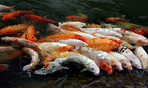The Japanese Koi: The Bejewelled Fish From Asia