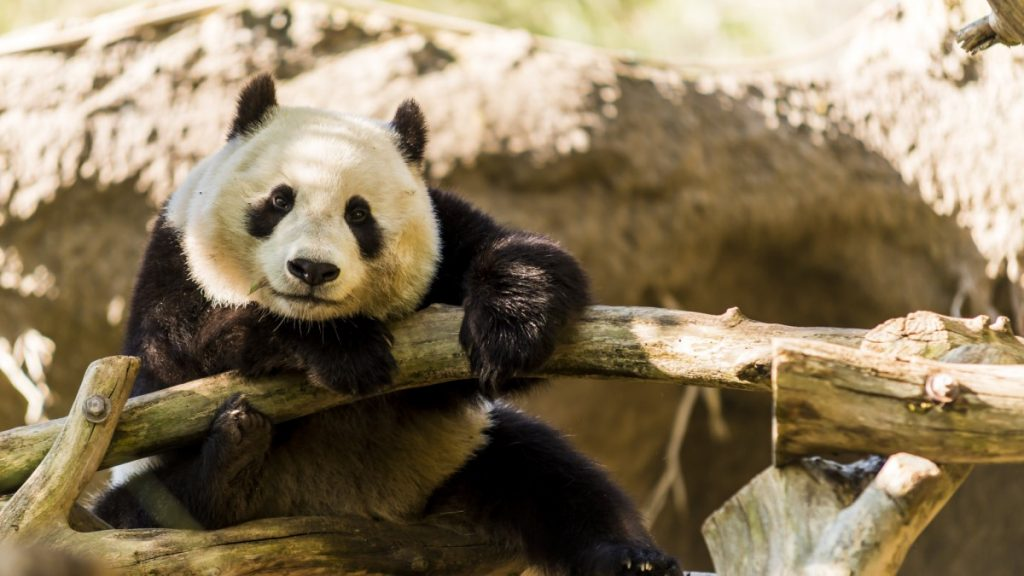 Panda - Xiao Liwu