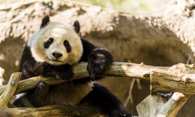San Diego Zoo Returns Adorable Pandas to China