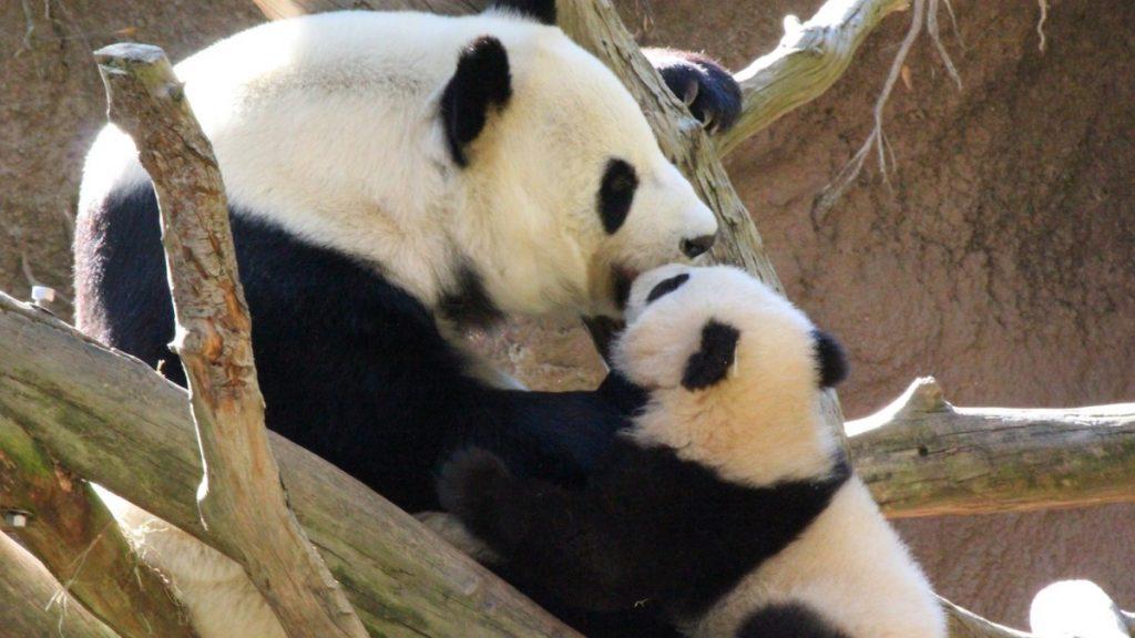 San Diego Zoo - Xiao Liwu and Mom